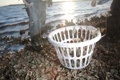 "Ed ""Lee Man"" Atkins begins collecting oysters off the public oyster bed located near St. Helena's Island."