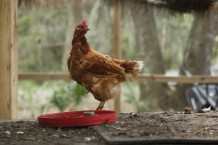Chickens and roosters are part of the menagerie at Sara' and Bill's 10-acre farm.
