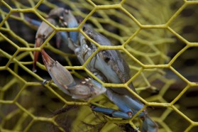 A blue crab is caught in Frank Major Sr.'s trap in the waters off St. Helena Island.