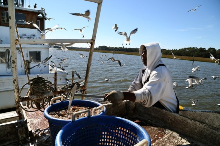 Bradley sorts shrimp by size into baskets. He uses a scraper to clean the sorting table. Birds move in to grab the crumbs.