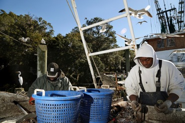Singleton, left, and Bradley sorts shrimp from the fish. A great egret waits on the left for his chance to feed.